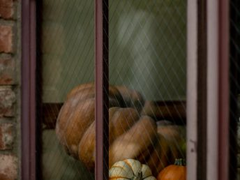 pumpkin seed oil pumpkins in a window