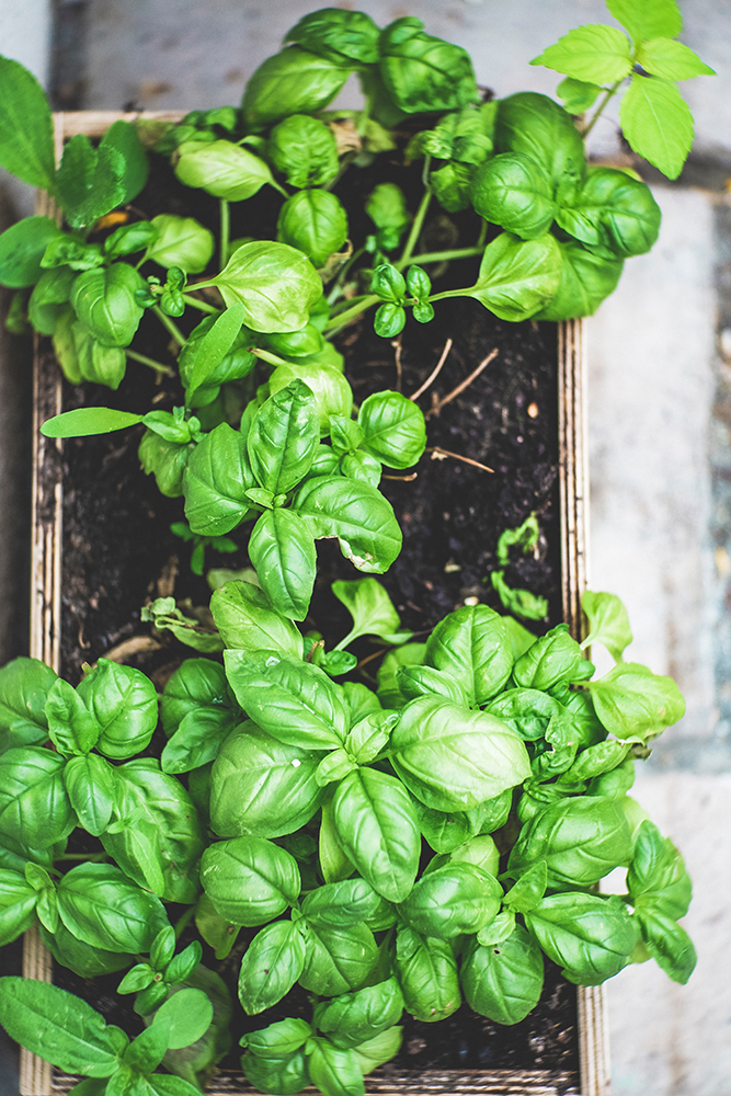 indoor vegetable garden basil