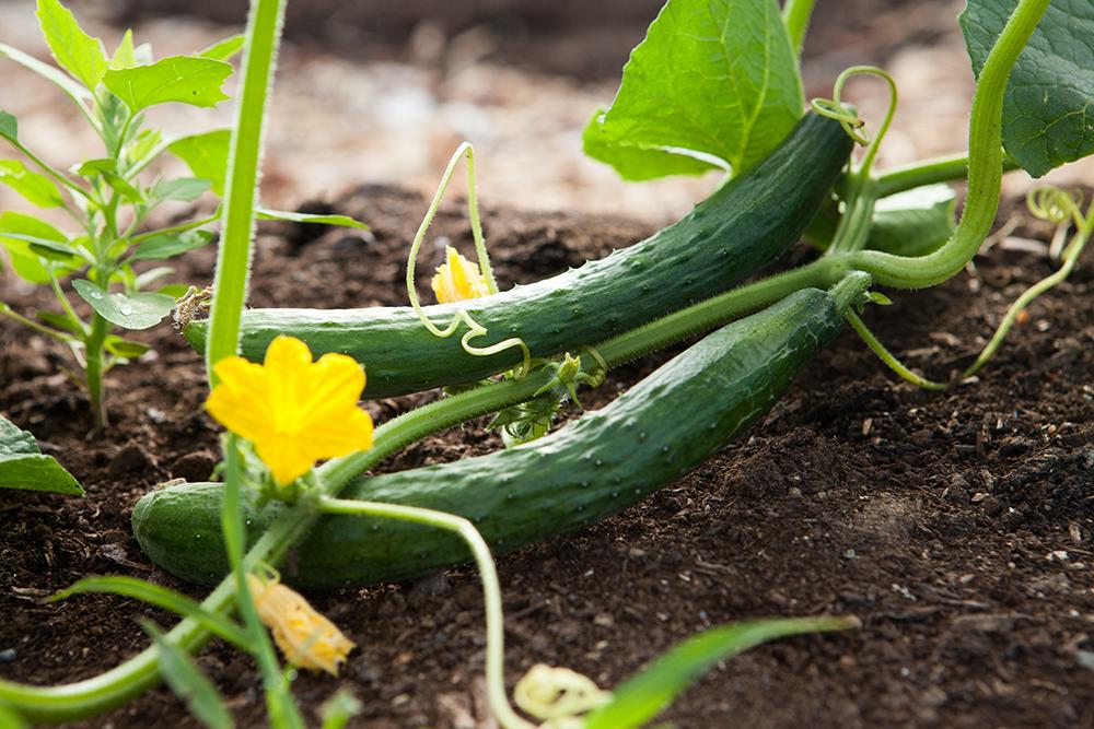 victory garden cucumber
