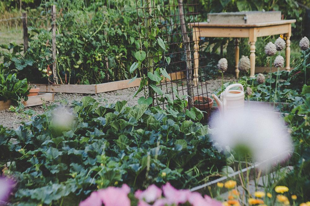 victory garden dandelion